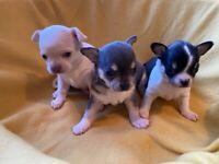 Beautiful Blue Eyed Chihuahua Puppies