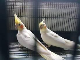 Cockatle