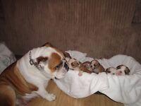 KC Registered British English Bulldog Puppies. Ready 20th December