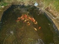 30 large pond goldfish plus hose lock 4,500 bioforce filter plus pondtec airater