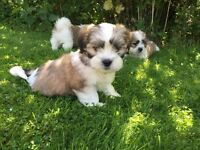 Adorable Shih Tzu Puppies - Ready to go