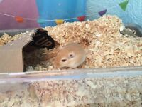 Female Gerbil and Cage etc FREE