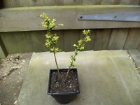 Two young Lonicera nitida 'Baggesen's Gold' Gold Box Honeysuckle