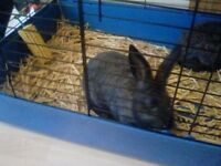 I have two silver fox rabbits for sale with hutch