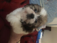 pedegree shih tzu puppies