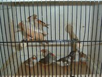 Mixed colours zebra finches including Phaeo for sale