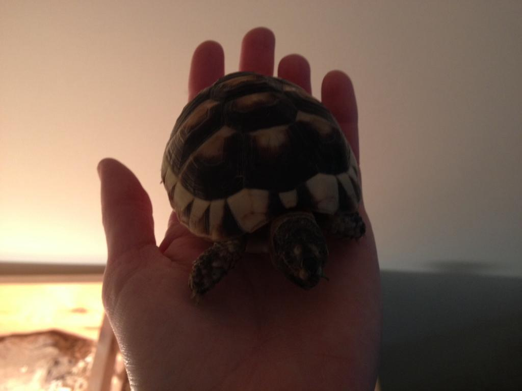 Marginated Tortoise Care Marginated Tortoise Female 18