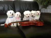 Bichon Maltese puppies 1 BOY LEFT