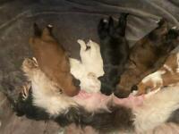 Shih tzu puppy's for sale **2 girls left **