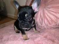 REDUCED! French Bulldog puppies for sale