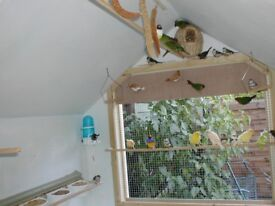 canaries finches pachinos