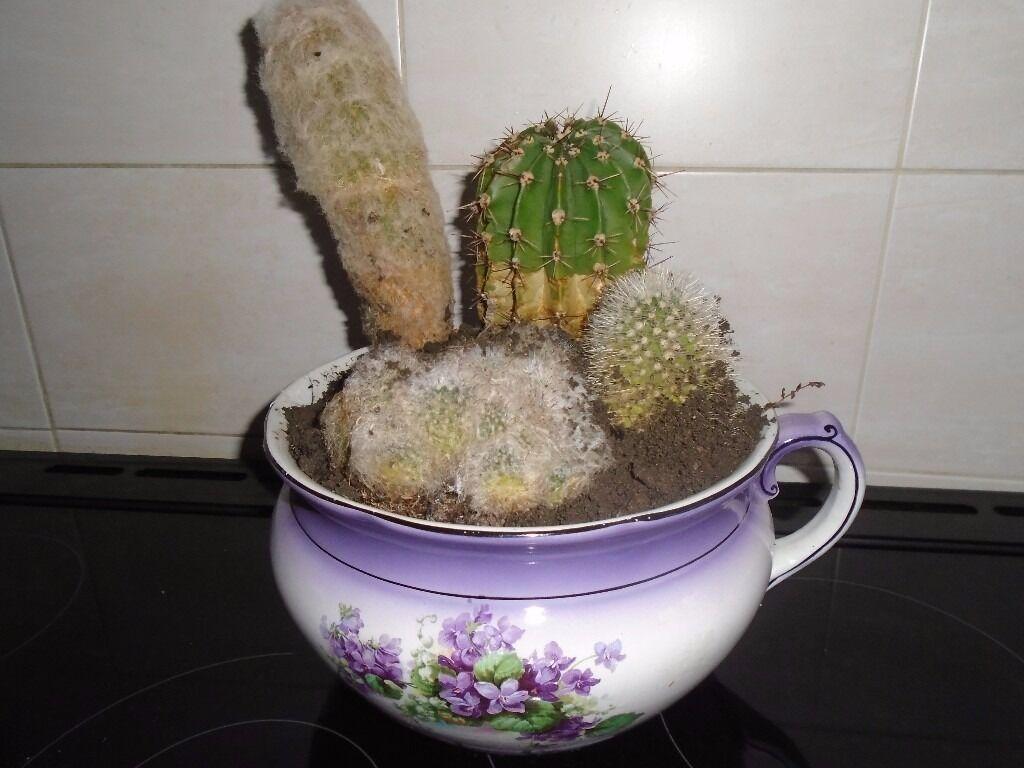 chamber pot of cacti