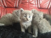 Russian Blue X Kittens For Sale