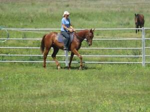 4 YEAR OLD THOROUGHBRED GELDING ALL ROUNDER Tansey Gympie Area Preview