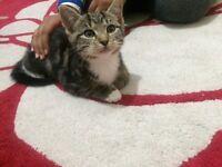 Gorgeous tabby kittens
