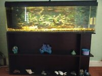 4 foot Fish Tank and Japanese Koi Carp for sale