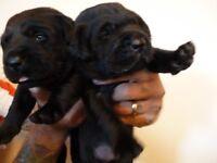 STUNNING BLACK LABRADOR PUPPIES