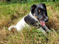 Pedigree Male Smooth fox terrier