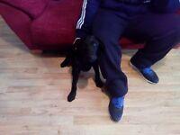 Male 5 Month old Black Labrador