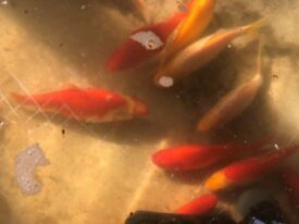 Large lot of pond goldfish all 6-10inches £60