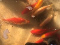 Large lot of pond goldfish all 6-10inches £40