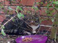 Tabby cat found in Gravesend