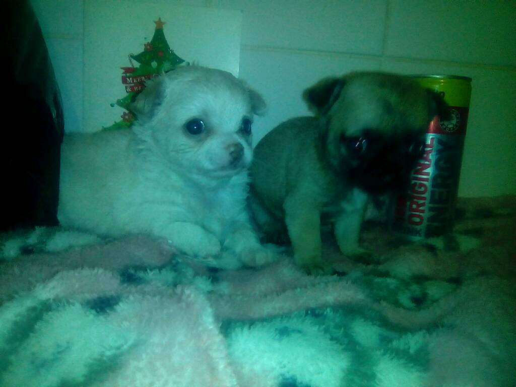 Chihuahua's for sale