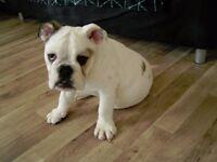 English british bulldog puppy