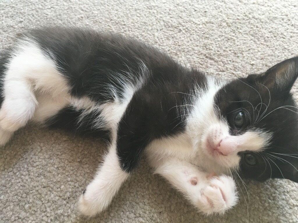 Beautiful black and white half ragdoll kitten