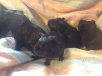 Baby boar guinea pigs