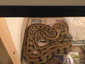 Carpet pythons