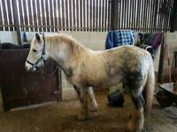 13.1hh ride and drive gelding