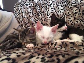 Beautiful Kittens for Sale! (White, Black & White & Tabby)