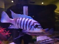 Cichlids - must go this week