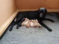 Labrador Pups ready NOW