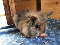 Beautiful Harlequin Double Teddy Lionhead Rabbits READY NOW ONLY 2 LEFT