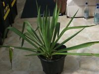 Outdoor Yucca Plant