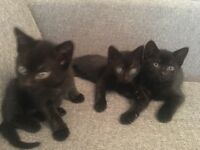 3 kittens for sale, 8 weeks old, ready in two weeks