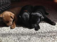 Patterjack patterdale/ jackrussel puppy's
