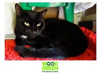 Vivvy - Domestic (Cat) - 2 Yrs - Looking for his Forever Home