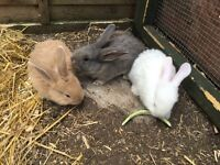 Gorgeous baby giant continental rabbits