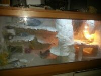 Bearded dragon with complete set up viv