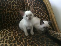 Two Siamese Kittens: Seal Point Female / Lilac Point Male.