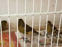 Hen Spanish timbrado canaries