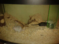 FREE - 4 male gerbils with large tanks and accessories for free