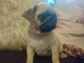 ***CUDDLY AND WRINKLY PUG PUPPIES***