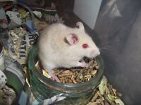 Baby Rats, Mice and Multimammates for sale