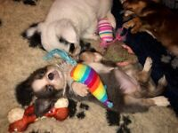 STUNNING LONGHAIR CHIHUAHUA PUPPIES READY NOW!