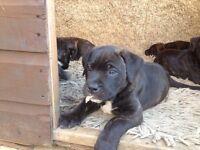 Puppie for sale presa canairo x American bull dog