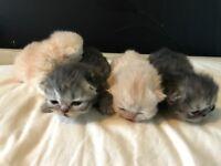 4 chinchilla Persian kittens